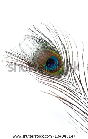 Close up of one peacock feather isolated on white background