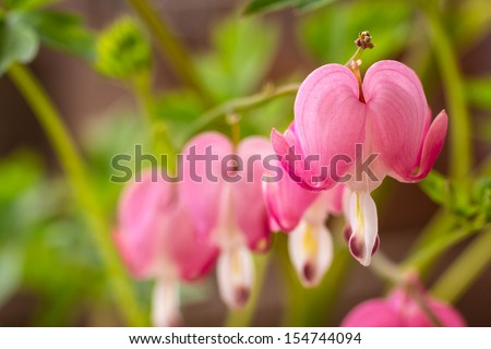 Close up of open bleeding heart flower bloom - stock photo