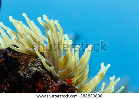 Close-up of open, yellow tentacles swaying in current, sea anemone, anthozoa actinaria, with red shells around - stock photo