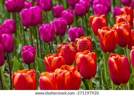 Close up of orange and purple tulips backlit by the sun in tulip field on flower bulb farm - stock photo