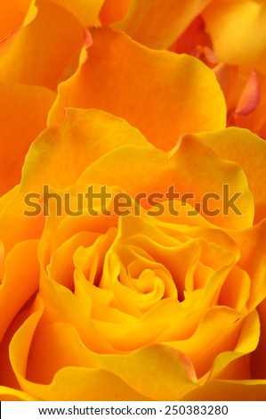 Close up of orange and yellow rose petals for background - stock photo