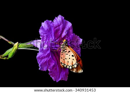 close up of orange butterfly on the purple flower on black isolated background