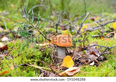 Close up of orange-cap mushroom growing in green moss - stock photo