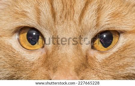 Close-up of Orange cat with orange eyes - stock photo