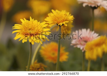Close-up of Orange Flower blowing in the wind motion blur at the garden. - stock photo