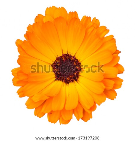 Close up of Orange Gerbera Flower