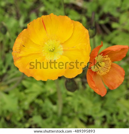 Close up of orange poppy flowers