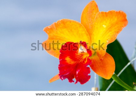Close-up of Orange, Red and Yellow (Cattleya) Orchid Flower over light background - stock photo