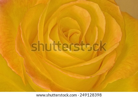 Close up of orange rose, photo art - stock photo