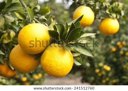 Close up of orange trees in the garden - stock photo