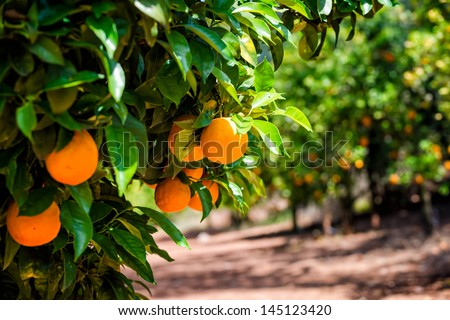 Close up of orange trees in the garden, selective focus - stock photo