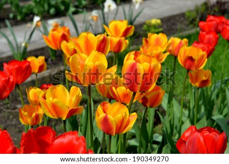 Close-up of orange tulip with yellow and red tulips background in a garden - stock photo