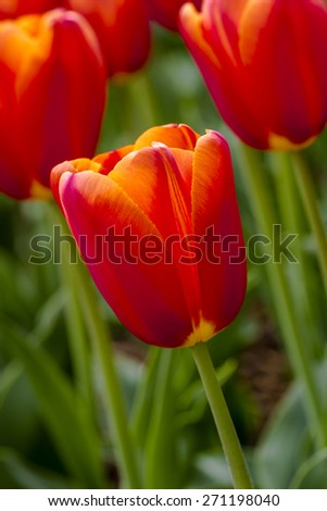 Close up of orange tulips backlit by the sun in tulip field on flower bulb farm - stock photo