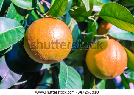 close up of oranges in a tree - stock photo