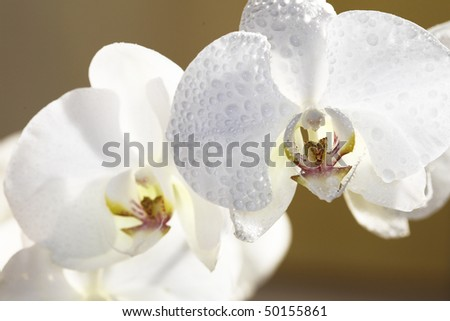 Close up of orchid flowers with drops on petals - stock photo