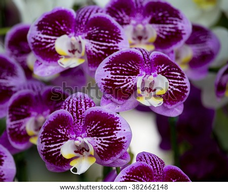 Close up of Orchids in the Garden , garden flowers and exhibited at the fair flowers , in the botanical garden in the exhibition orchids - stock photo