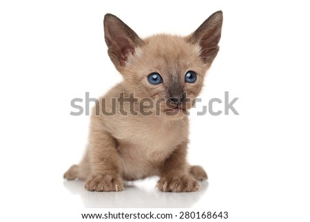 Close-up of Oriental kitten on white background