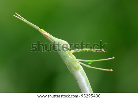 close up of orthoptera insects - stock photo