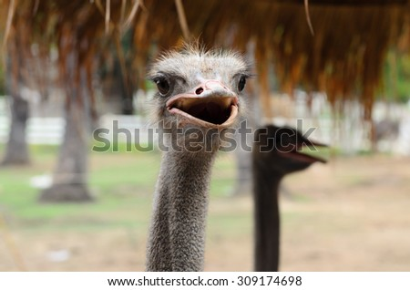 Close up of Ostrich head. - stock photo
