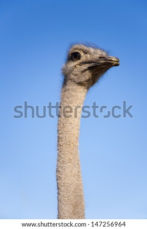 Close up of ostrich neck and head, Garden Route, South Africa