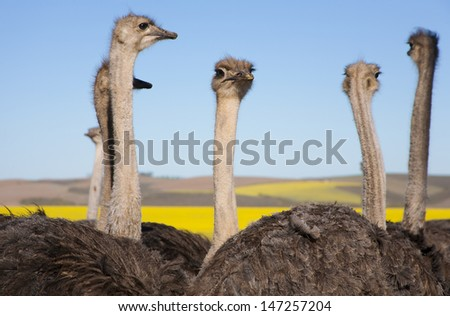 Close up of ostriches along the Garden Route with yellow Rapeseed fields in background, South Africa - stock photo