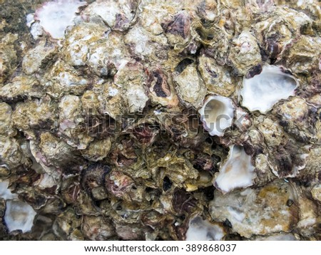 Close up of oyster (Crassostrea commercialis), Oysters on the rock at the coast.