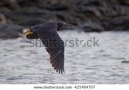 Close up of Pacific Reef Egret (Egretta sacra)  flying  in real nature in Thailand