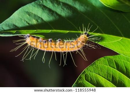 Close up of Painted Jezebel (Delias hyparete) lava (caterpillar) on green leaf - stock photo