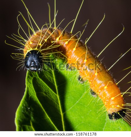 Close up of Painted Jezebel (Delias hyparete) lava (caterpillar) on green leaf, square cropped - stock photo