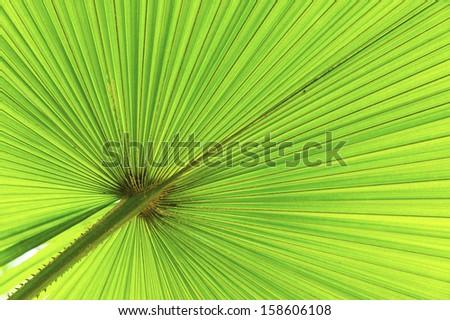 Close up of palm leave (Livistona rotundifolia). - stock photo