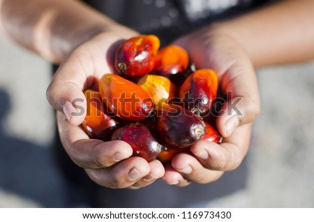 Close up of Palm Oil seeds, selective focus. - stock photo