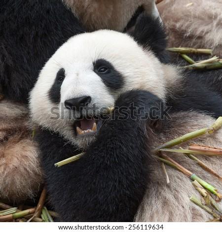 Close-up of panda bear  - stock photo