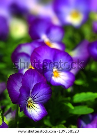 Close up of pansy flowers, with selective focus - stock photo