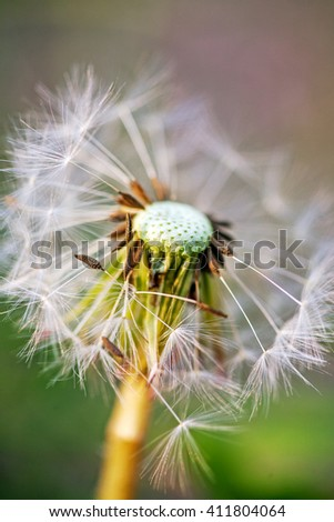 Close-up of partially blown away dandelion in nature background - stock photo