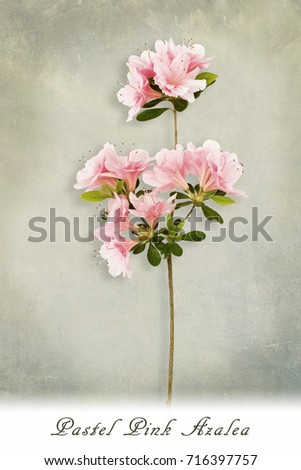 Close up of pastel pink azaleas on a textured background with shadow and text