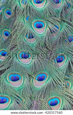 Close-up of peacock feathers with eyes in Netherlands
