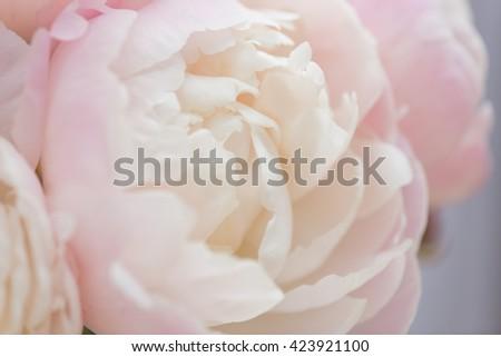 Close up of Peony flowers - stock photo