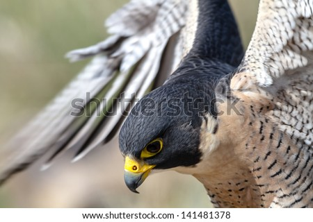 Close up of Peregrine Falcon as it lands on a tree branch - stock photo