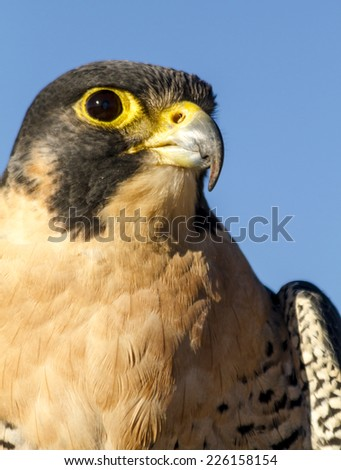 Close up of Peregrine Falcon sitting in tree on autumn morning - stock photo