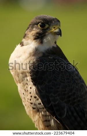 Close-up of peregrine falcon with grassy background