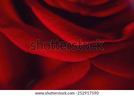 Close up of petal red rose - stock photo