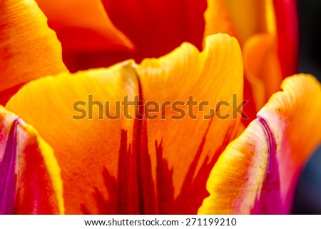 Close up of petals of orange and yellow tulip in tulip field on flower bulb farm - stock photo