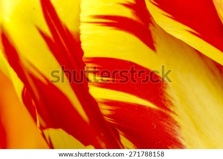 Close up of petals of  yellow and orange tulip flower - stock photo