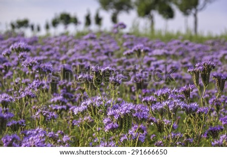 Close-up of phacelia on a field