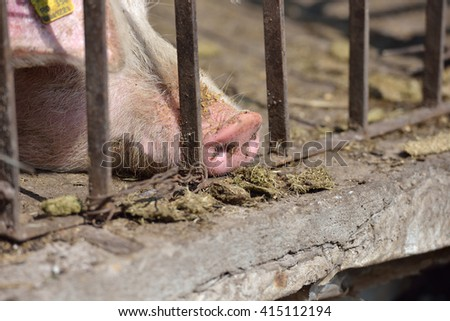 Close up of pig snout pull out through the iron fence of his cage. Work on the farm, caring for the animals by farmers - stock photo