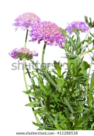 Close up of Pincushion Flowers, Skabiosa Columbaria, on white - stock photo