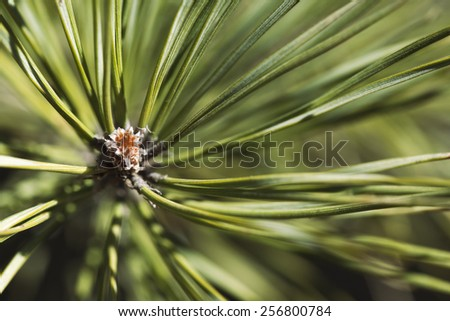 Close-up of pine bud in the spring - stock photo