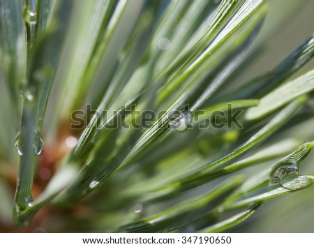 Close up of pine needles after rain - stock photo