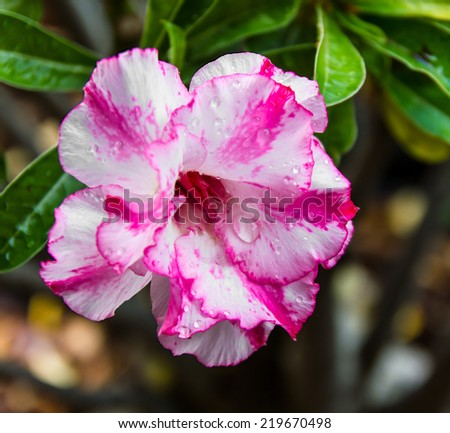 Close up of pink and white azalea blooming beautifully. - stock photo