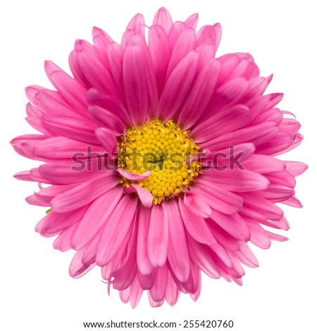Close-up of pink aster isolated on white background. - stock photo